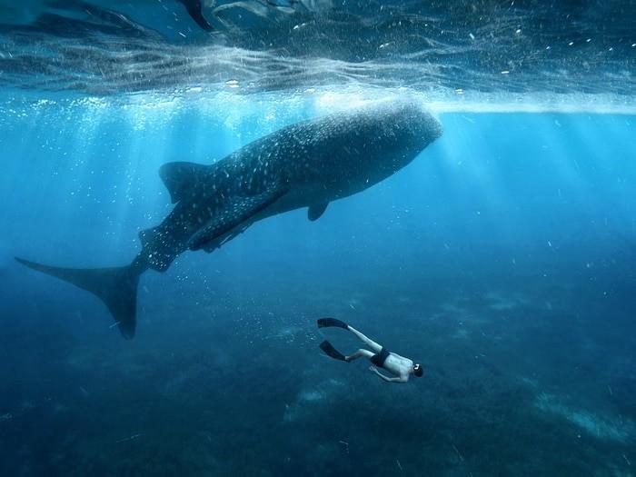 tiburón ballena Filipinas