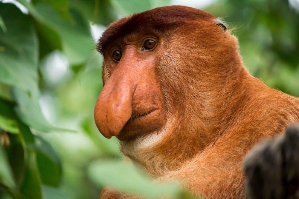 ver monos narigudos en Malasia
