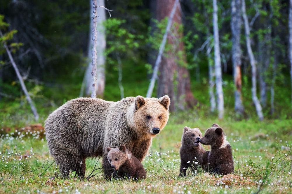 qué hacer en un encuentro con osos en Alaska