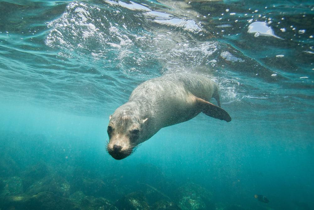 nada con leones marinos en islas Galápagos