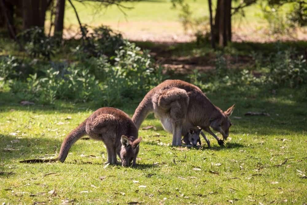 canguros en Great Ocean Road