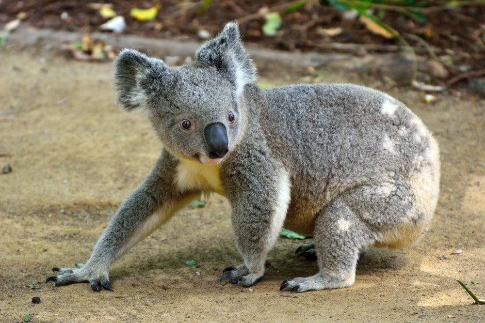 ver koalas en la Great Ocean Road