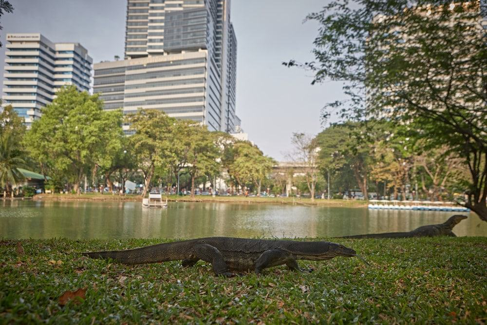 lagartos de Lumpini Park