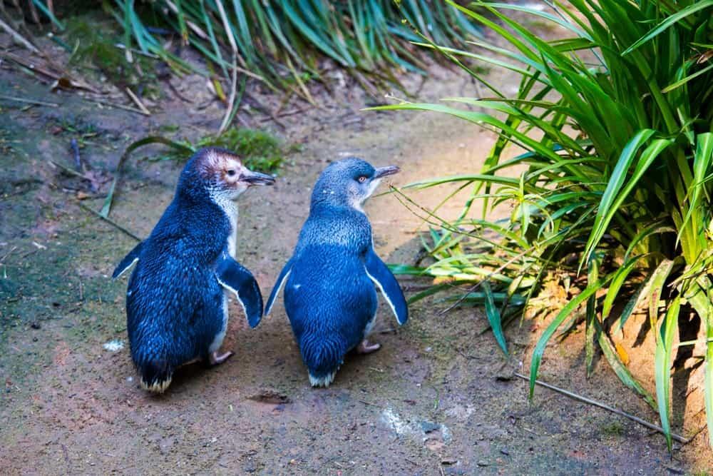 ver pingüinos en Melbourne en la Penguin Parade
