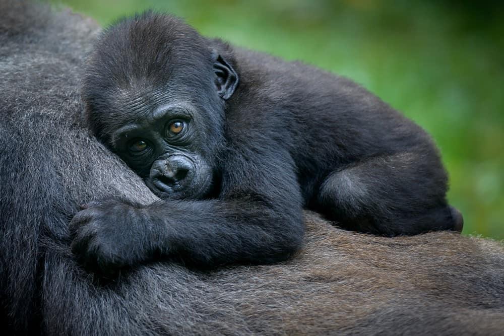 que ver en Uganda, gorilas