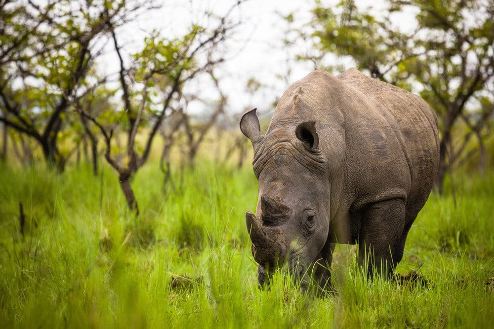 rinocerontes en Uganda
