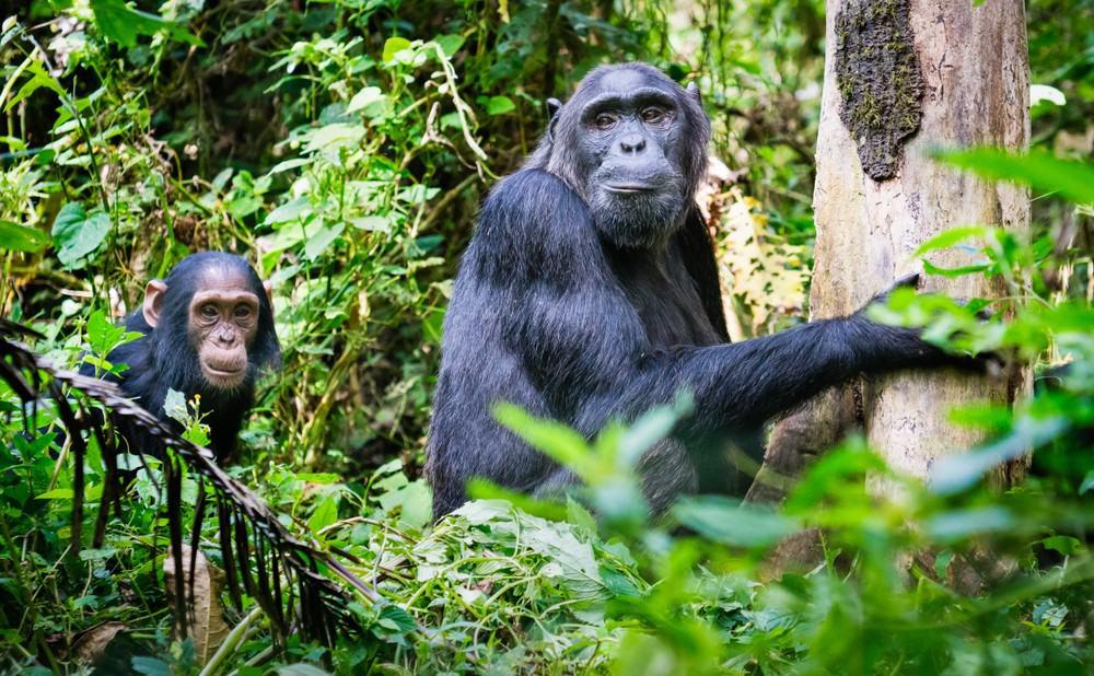 Chimpancés en Budongo o Kibale, Uganda