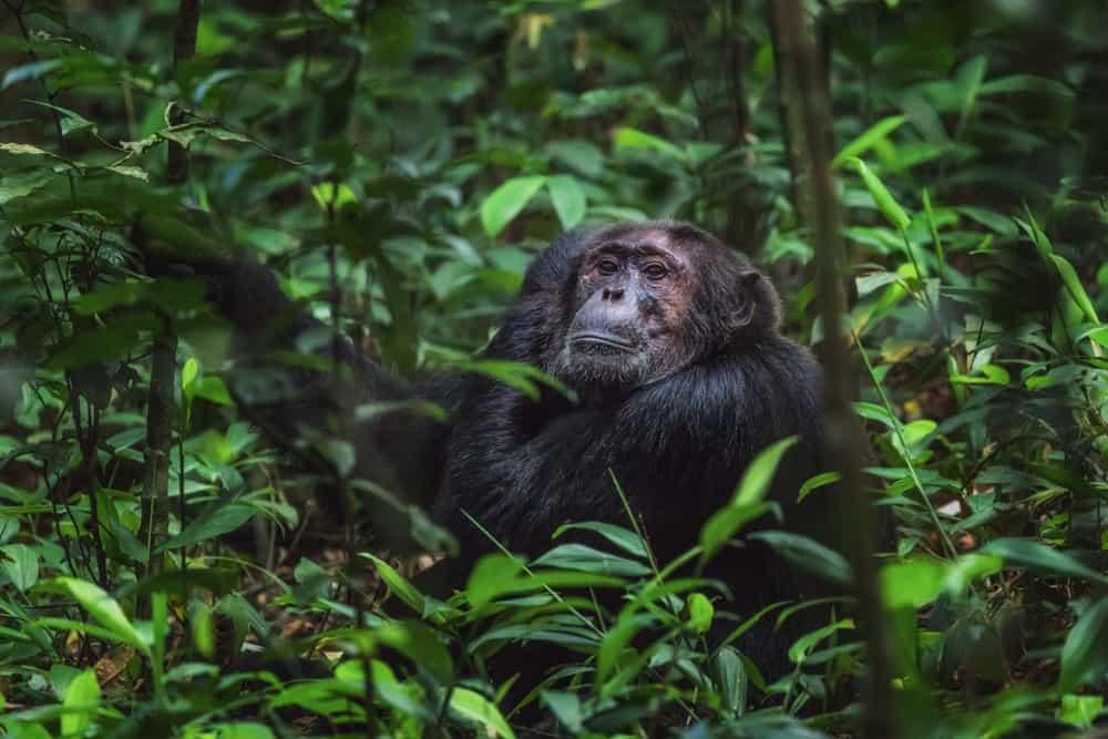 ver gorilas en Uganda