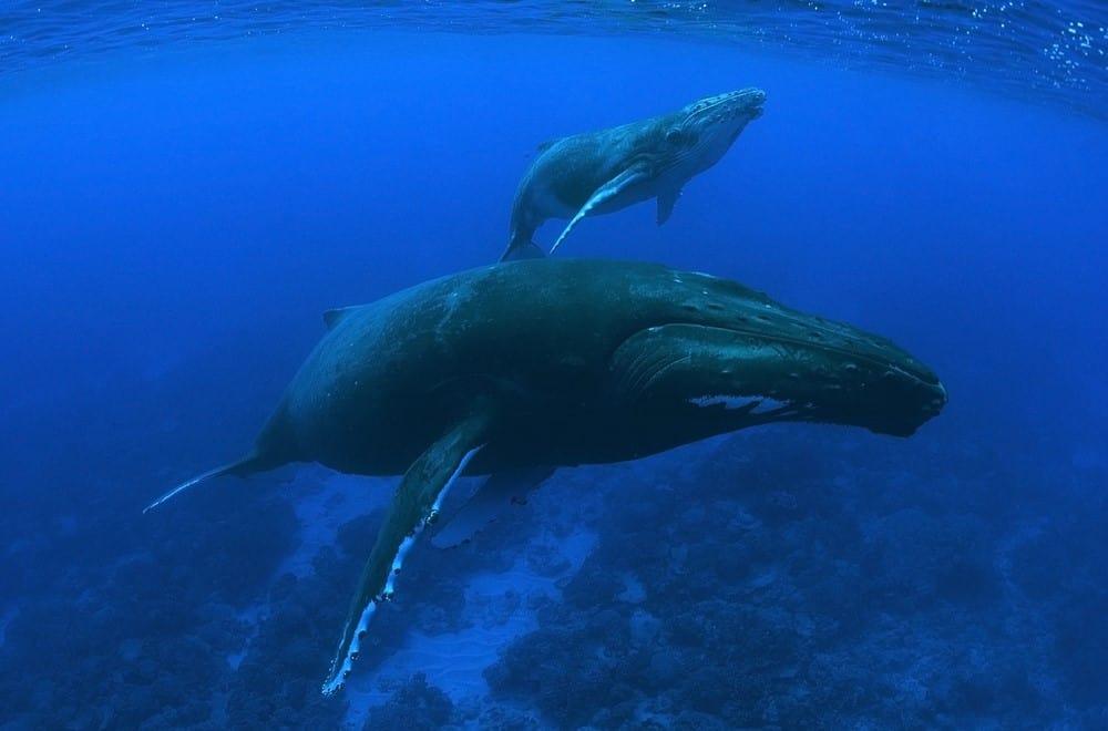 ballenas en Polinesia Francesa