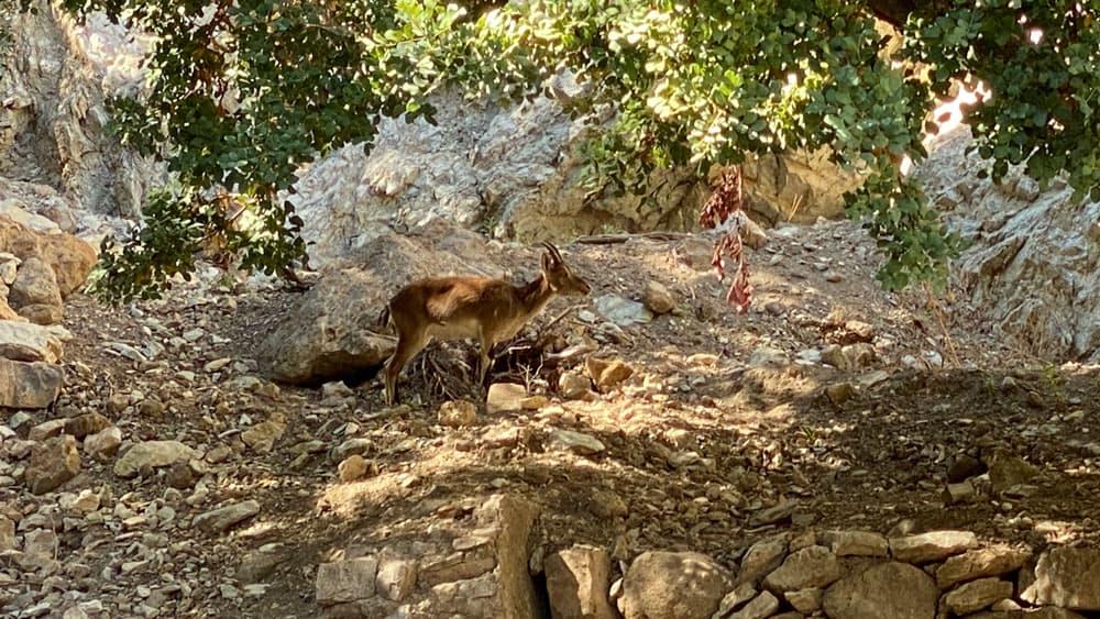 cabra montesa en libertad