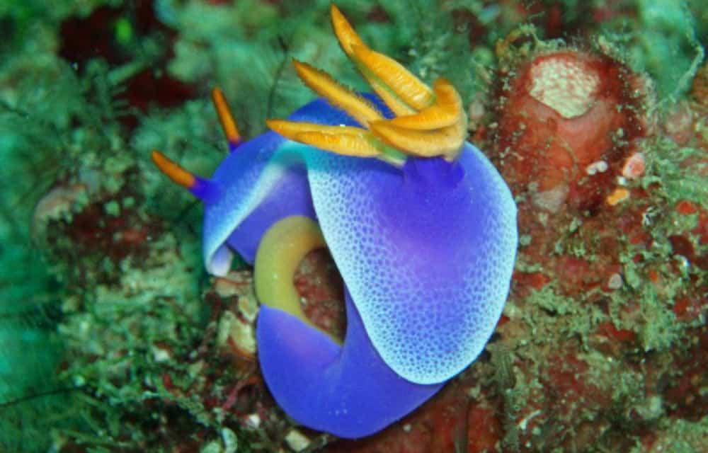 bonito nudibranquio visto buceando