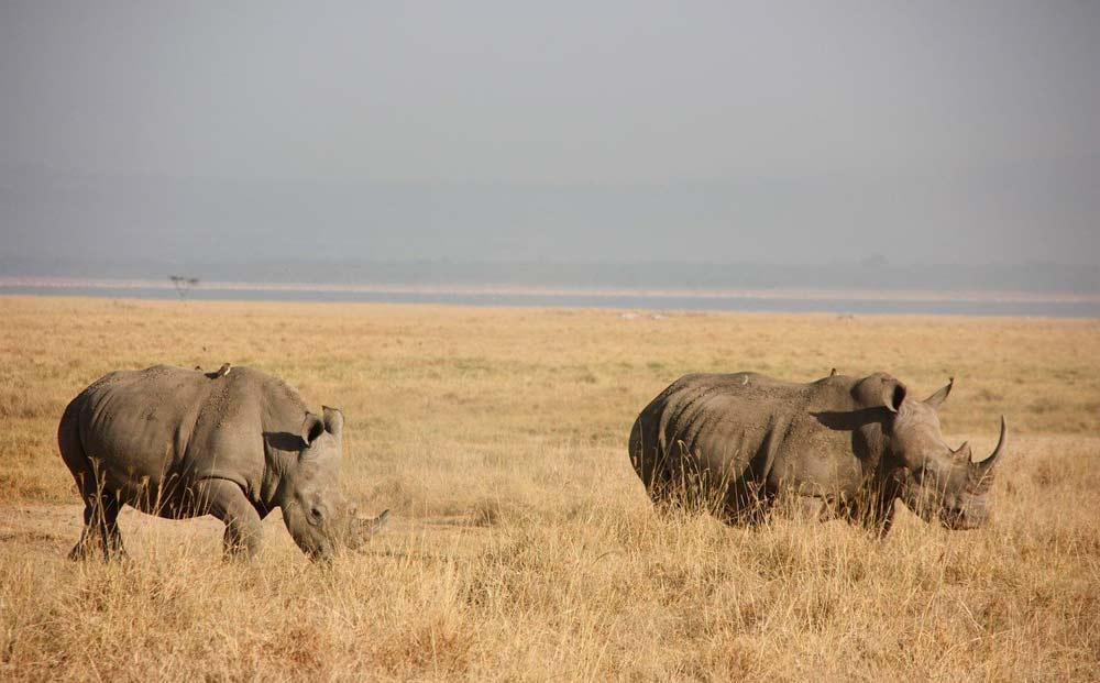 rinocerontes en parque nacional