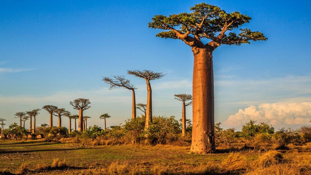avenida dos baobabs madagascar