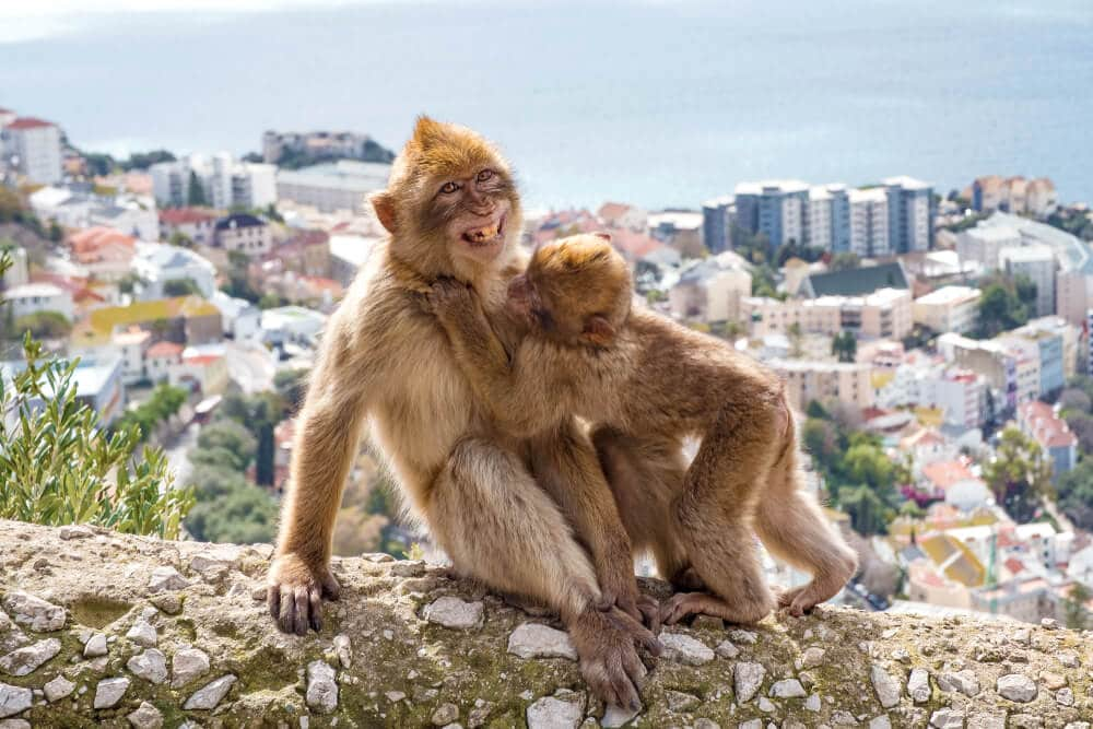 dupla de macacaos com gibraltar ao fundo