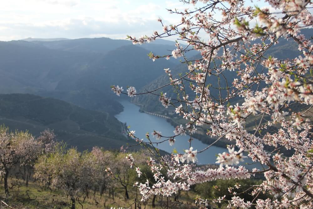 socalcos do douro com amendoeiras em flor