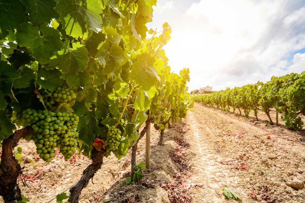 vinhas alentejanas