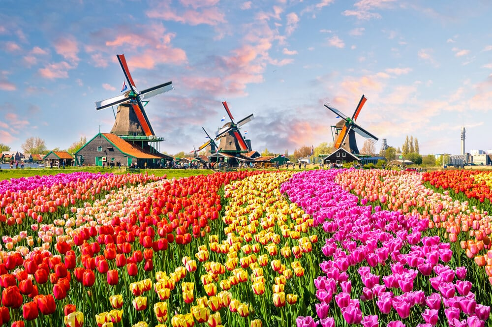 campo de tulipas de varias cores e moinhos tipicos da holanda