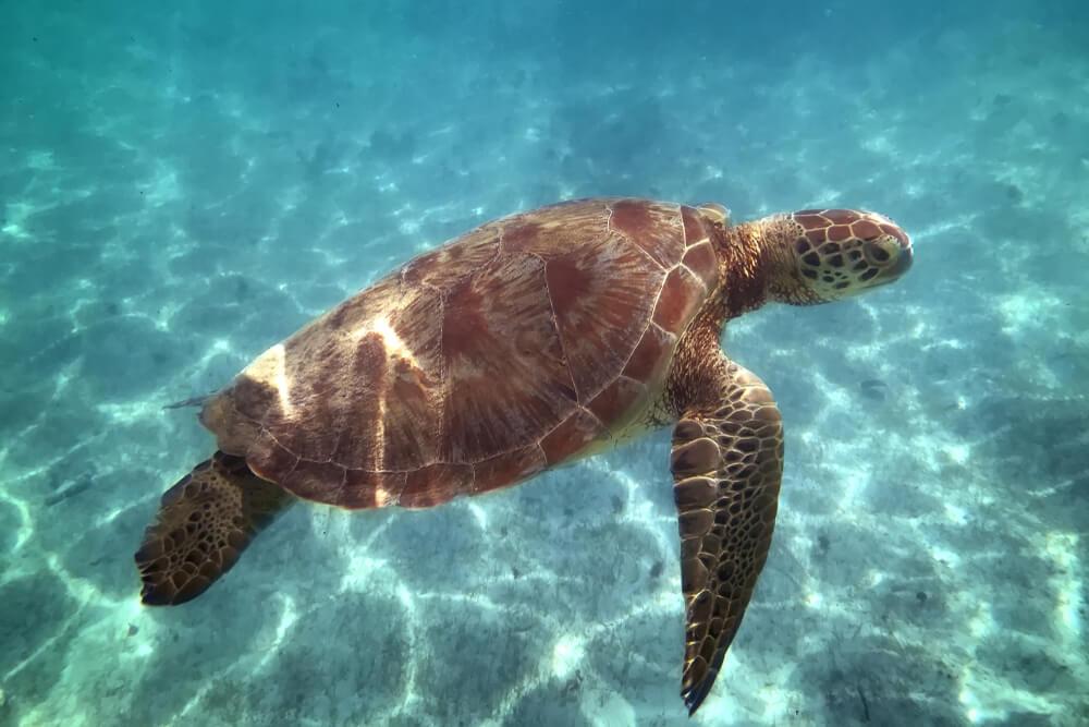 tartaruga nada debaixo de agua na costa de guadaloupe