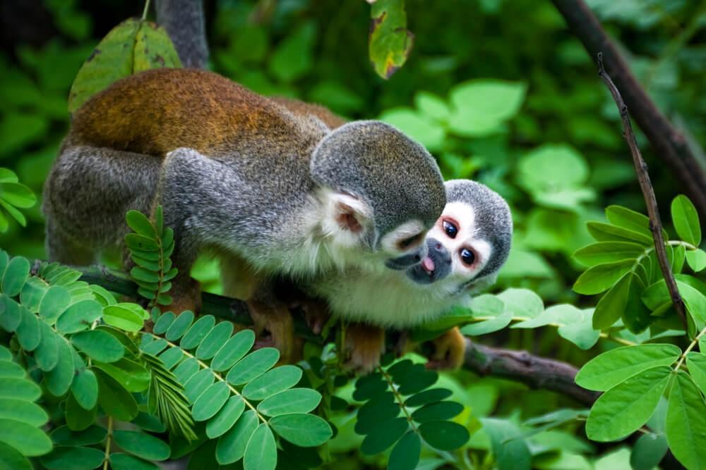 macacos numa arvore na amazonia