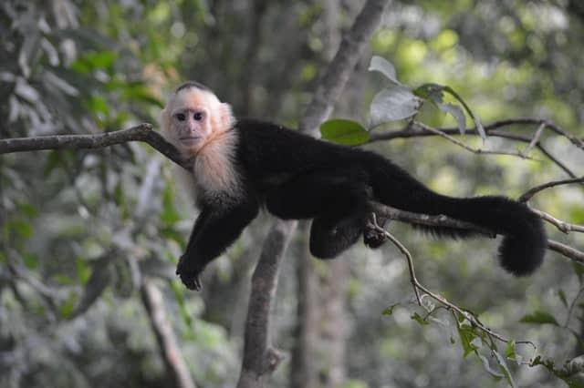 macaco no parque Manuel Antonio National Park