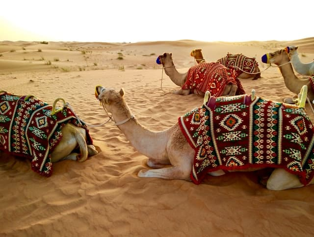 camelos no deserto do dubai